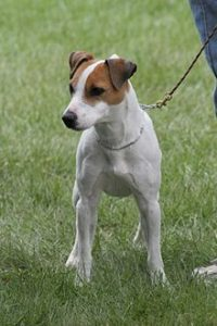 dog-jack-russell
